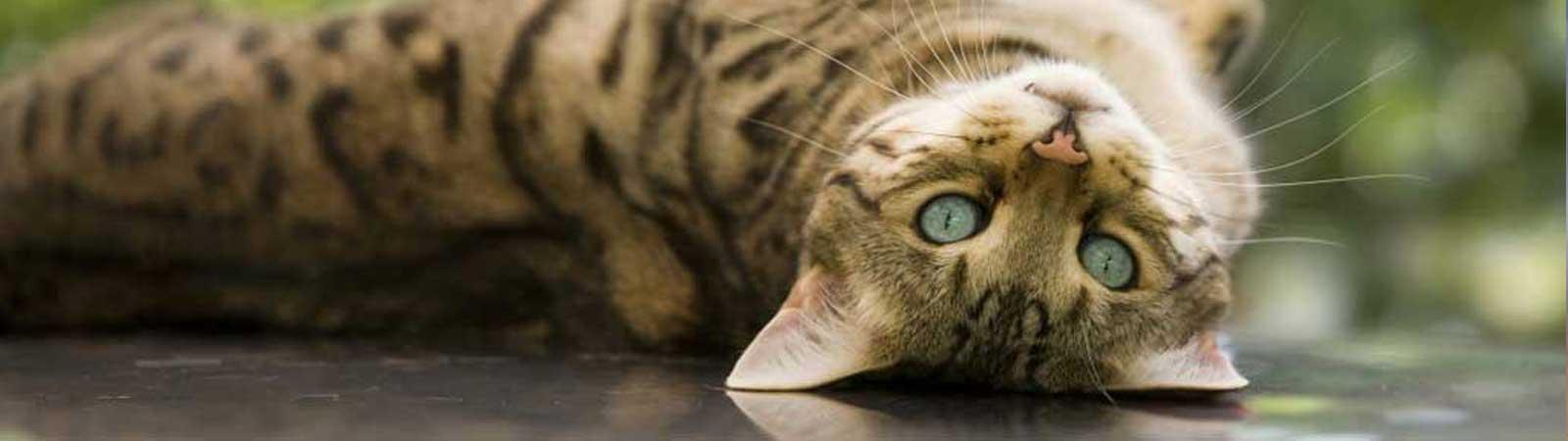 cane gatto dermatite